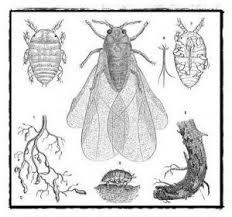 Vista del insecto y sus efectos en la vid